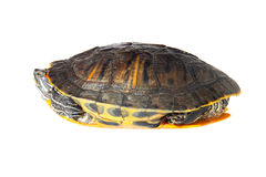 Turtle. Right view stock photo