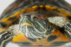 Turtle. Face Turtle royalty free stock images