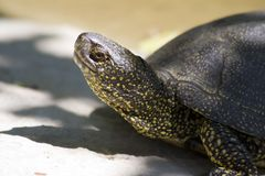 Turtle. S are reptiles of the order Testudines (the crown group of the superorder Chelonia Royalty Free Stock Photos