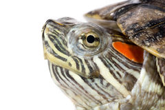 Turtle. Head of a little turtle Stock Photos