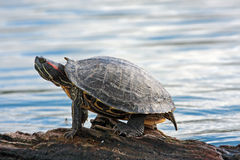 Turtle. Water turtle standing on wood near a lake Royalty Free Stock Photo