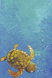 The turtle. The small turtle in the water of the blue sea Stock Image