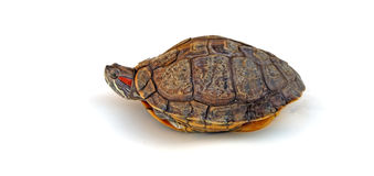 Turtle. With only head out of shell Royalty Free Stock Image
