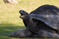 Turtle. Open mouth turtle Stock Photos