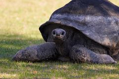 Turtle. Big old lady Royalty Free Stock Photo