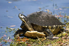 Turtle. Large, wild turtle found in Florida, USA royalty free stock images