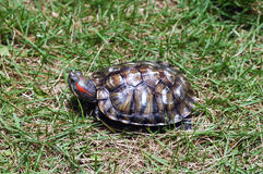 Turtle. A turtle creeps on the meadow stock photography