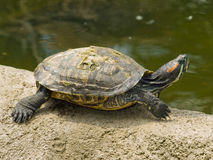 Turtle. Small animal turtle in zoo Stock Photos