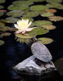 Turtle. A box turtle standing on a rock Royalty Free Stock Image