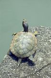 Turtle. Golden turtle Royalty Free Stock Image