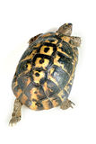 Turtle from above. Turtle  isolated on white wolking away Royalty Free Stock Image