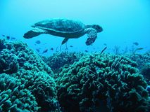 Turtle Above Reef Royalty Free Stock Images
