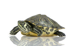 Turtle  - Acanthochelys Royalty Free Stock Photos