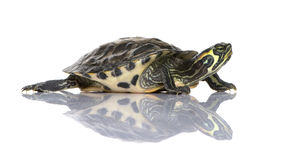 Turtle - Acanthochelys Stock Photos