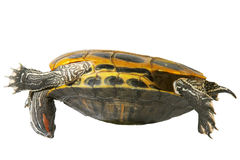Turtle acrobat Royalty Free Stock Image
