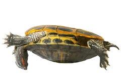 Turtle acrobat. Turtle on white Royalty Free Stock Image