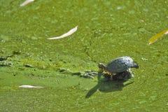 Turtle on algae covered pond Stock Photos