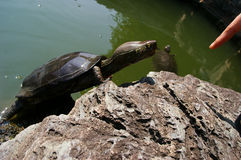 Turtle allured by a finger (Pelusios niger) Royalty Free Stock Photography