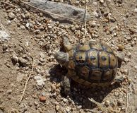 Turtle in ancient city Bechin. Turtle in the ancient city of Turkey Bechin Stock Photos