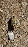 Turtle in ancient city Bechin Stock Image