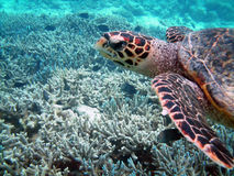 Free Turtle And Coral Reef Stock Photos - 14200843