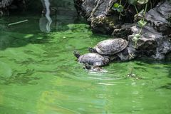 Turtle, animal, nature, wildlife, reptile, water, tortoise, shel. Three turtles in the green water in a small pond Stock Photography
