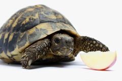 Turtle and apple Stock Images