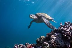 Turtle Approach. A green sea turtle in Hawaii Stock Photography