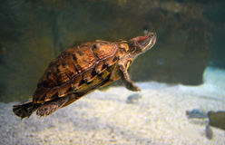 Turtle in the aquarium Stock Photos