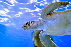 Turtle in a aquarium. Royalty Free Stock Photos