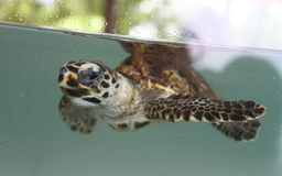Turtle in aquarium Royalty Free Stock Photo