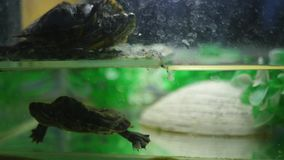 Turtle in an aquarium stock video
