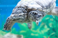 Turtle in an aquarium Royalty Free Stock Images