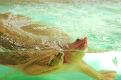 Turtle. In an aquarium in Singapore Royalty Free Stock Photography