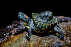 Turtle in the aquarium royalty free stock images