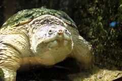 Turtle in the aquarium. The frame is in selective focus royalty free stock photo