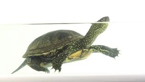 Turtle in the aquarium water stock footage