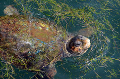 Turtle in Argostoli. Turtle with head out of water in Argostoli  Greece Royalty Free Stock Image
