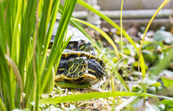 Turtle. Baby Turtle looking at the camera royalty free stock photo