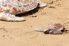 Turtle Baby with mother on beach stock photo