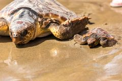 Turtle Baby with mother on beach royalty free stock photos