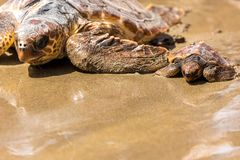 Turtle Baby with mother on beach stock images