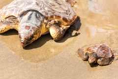 Turtle Baby with mother on beach stock photos