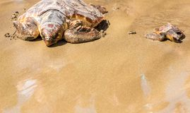 Turtle Baby with mother on beach royalty free stock photo