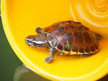 Turtle. Baby turtle in yellow bucket Royalty Free Stock Photo