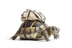 Turtle with backpack on a back. Royalty Free Stock Image