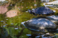 Turtle balancing on a rock Stock Photo