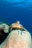 Turtle in bali Stock Photo