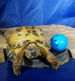 Turtle and ball on rock Royalty Free Stock Photo