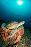 Turtle in a barrel sponge with sunbeams Royalty Free Stock Photography